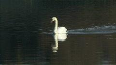 Swan swims slowly 4 Stock Footage