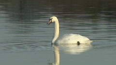 Floating swan calls. Stock Footage