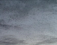 swarm of birds in the sky of Rome - Italy - stock footage