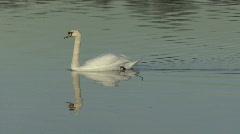 Swan swims slowly 8 Stock Footage