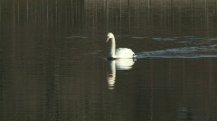 Swan swims slowly 3 Stock Footage