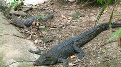 Salt & freshwater crocodiles Stock Footage