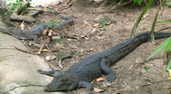 Stock Video Footage of salt & freshwater crocodiles