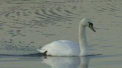 Swan swims slowly 7 Stock Footage