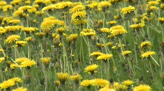 Dandelions, #5 medium tight Stock Footage