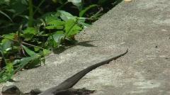 Monitor Lizard (HD587) Stock Footage