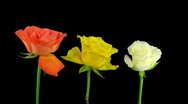 Time-lapse dying three colorful roses ALPHA matte 1 Stock Footage