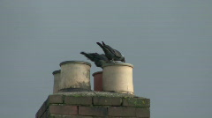 Jackdaws check chimney pots for a possible nest site Stock Footage
