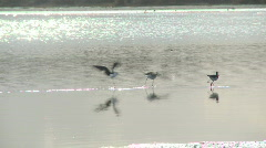 Estuary bird chase Stock Footage
