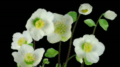 Time-lapse growing opening Helleborus Christmas rose ALPHA matte 2 Stock Footage