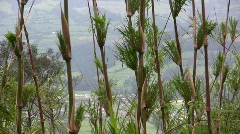 Chusquea Bamboo on an Andean hillside - stock footage