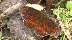 Brown butterfly feeding on animal feces Stock Footage