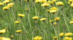 Dandelions, #7 zoom Stock Footage