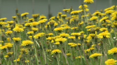 Dandelions, #3 Stock Footage