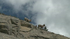 Stock Video Footage of mountain sheep on steep hill