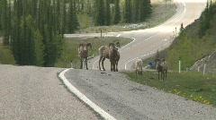 Mountain sheep, Bighorn, #2 Stock Footage