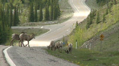 Mountain sheep, Bighorn, #3 Stock Footage