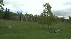Aspen woods, big tree Stock Footage