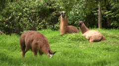 Group of llamas in the Ecuadorian Andes Stock Footage