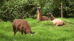 Group of llamas in the Ecuadorian Andes - stock footage