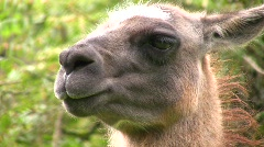Llama, close up of head Stock Footage