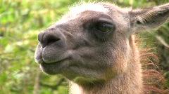 Llama, close up of head - stock footage