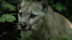 Wildlife Pacific Northwest Cougar Close up Stock Footage