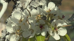 Pear Fruit Blossoms Stock Footage