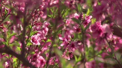 Peach Fruit Blossoms with bees Stock Footage