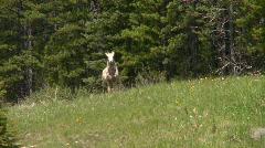Mountain sheep, Bighorn, #1 Stock Footage