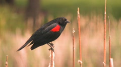 Red Winged Black Bird Stock Footage