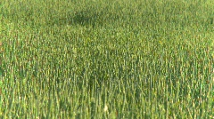 Agriculture, wheat field early summer, #16 Stock Footage