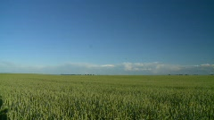 agriculture, wheat field early summer, #4 pan - stock footage