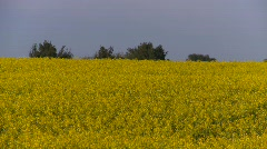 agriculture, canola field, evening, long shot with trees in bg - stock footage