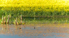Agriculture, canola fields and pond, #3 Stock Footage