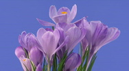 Stock Video Footage of Time-lapse of fading purple crocus 3