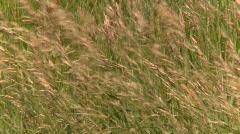 Short grass prairie blowing in wind, #4 Stock Footage