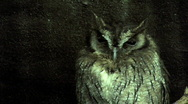 Wise old Screech Owl watching Stock Footage