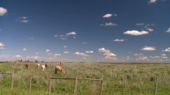 Agriculture, cattle on the open range, #4 Stock Footage