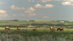 Agriculture, cattle on the ranch, #1 Stock Footage