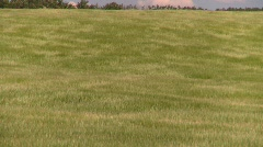 agriculture, wind and wavy barley, #2 - stock footage