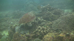 Green sea turtle, Chelonia mydas on a coral reef in the Philippines Stock Footage
