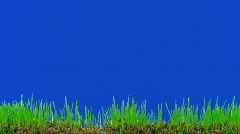 Time-lapse of growing decorative Easter grass against blue background 1  - stock footage