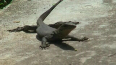 Monitor Lizard (HD 594) Stock Footage