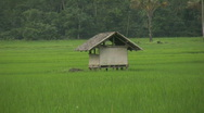 Stock Video Footage of Field with maturing rice on Oriental Mindoro in Philippines