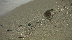 Beachcomber. Sparrow on the beach. Stock Footage
