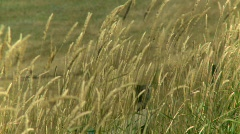 Wild grass in the wind Stock Footage