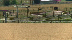 Agriculture, ripe wheat, #2 long shot with cattle corrals in bg Stock Footage
