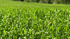 Agriculture, corn field, medium shot Stock Footage