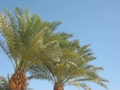Branches of palm trees Stock Footage